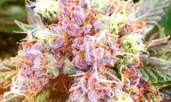 7 dicas para melhotar qualidade dos buds de cannabis