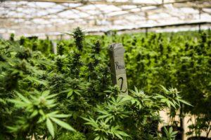 imagem ilustrativa de um grow de cannabis com fertilizante próprio