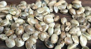 imagem de sementes feminizadas de cannabis